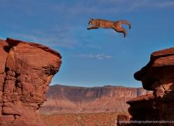 mountain-lion-puma-moab-2042-copyright-photographers-on-safari-com
