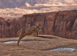 mountain-lion-puma-moab-2043-copyright-photographers-on-safari-com
