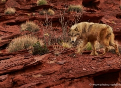wolf-moab-2058-copyright-photographers-on-safari-com