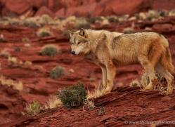 wolf-moab-2062-copyright-photographers-on-safari-com