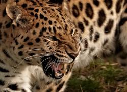amur-leopard-whf-2326-copyright-photographers-on-safari-com