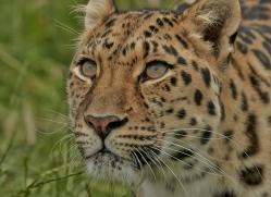 Amur Leopard 2015-5copyright-photographers-on-safari-com