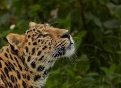 Amur Leopard 2015-8copyright-photographers-on-safari-com