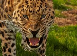Amur Leopard 2015-9copyright-photographers-on-safari-com