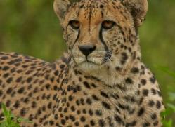 Cheetah 2015-11copyright-photographers-on-safari-com