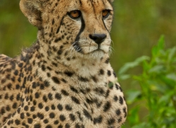 Cheetah 2015-12copyright-photographers-on-safari-com