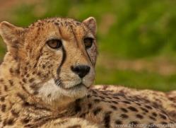 Cheetah 2015-14copyright-photographers-on-safari-com