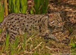 Fishing Cat 2015-1copyright-photographers-on-safari-com