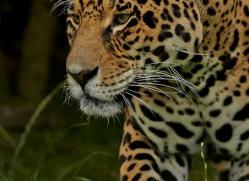 Jaguar 2015-2copyright-photographers-on-safari-com