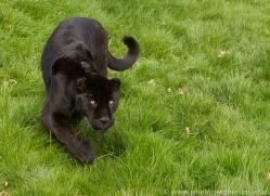 Jaguar 2015-3copyright-photographers-on-safari-com