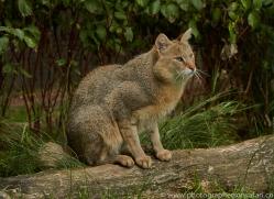 Jungle Cat 2015-1copyright-photographers-on-safari-com