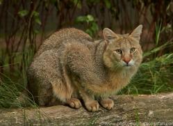 Jungle Cat 2015-2copyright-photographers-on-safari-com