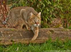 Jungle Cat 2015-4copyright-photographers-on-safari-com