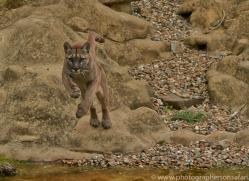 Puma 2015-11copyright-photographers-on-safari-com