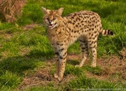 Serval 2015-17copyright-photographers-on-safari-com