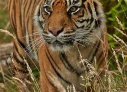 Tiger 2015-51copyright-photographers-on-safari-com