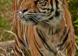 Tiger 2015-52copyright-photographers-on-safari-com