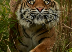 Tiger 2015-53copyright-photographers-on-safari-com