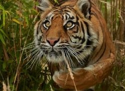 Tiger 2015-55copyright-photographers-on-safari-com