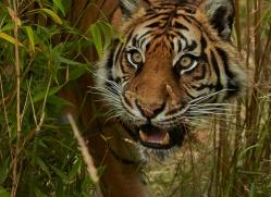 Tiger 2015-56copyright-photographers-on-safari-com