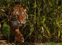 Tiger 2015-58copyright-photographers-on-safari-com