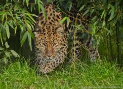 amur-leopard-whf-2322-copyright-photographers-on-safari-com