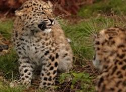 amur-leopard-whf-2324-copyright-photographers-on-safari-com