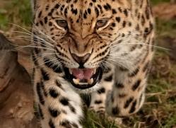 amur-leopard-whf-2325-copyright-photographers-on-safari-com
