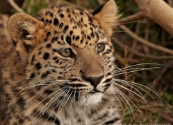 amur-leopard-whf-2330-copyright-photographers-on-safari-com
