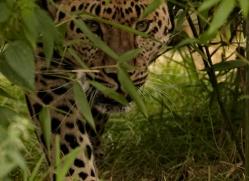 amur-leopard-whf-2331-copyright-photographers-on-safari-com
