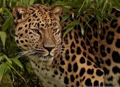 amur-leopard-whf-2333-copyright-photographers-on-safari-com