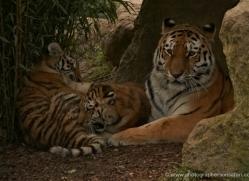 amur-tiger-whf-2297-copyright-photographers-on-safari-com