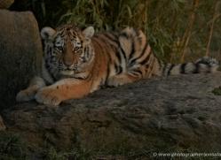 amur-tiger-whf-2303-copyright-photographers-on-safari-com