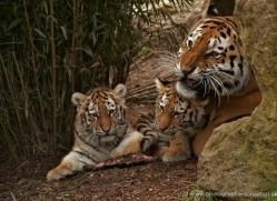 amur-tiger-whf-2304-copyright-photographers-on-safari-com