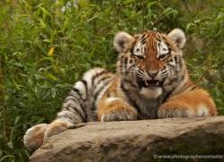 amur-tiger-whf-2305-copyright-photographers-on-safari-com