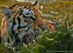 amur-tiger-whf-2306-copyright-photographers-on-safari-com