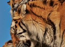 amur-tiger-whf-2311-copyright-photographers-on-safari-com