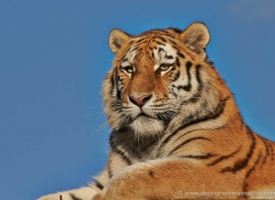 amur-tiger-whf-2312-copyright-photographers-on-safari-com