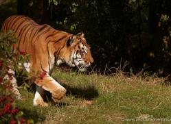 bengal-tiger-whf-2464-copyright-photographers-on-safari-com