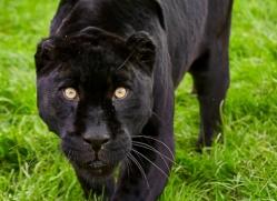 black-leopard-whf-2343-copyright-photographers-on-safari-com