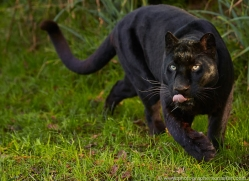 black-leopard-whf-2344-copyright-photographers-on-safari-com