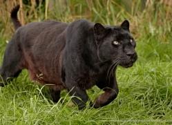 black-leopard-whf-2346-copyright-photographers-on-safari-com