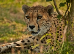 cheetah-whf-2366-copyright-photographers-on-safari-com