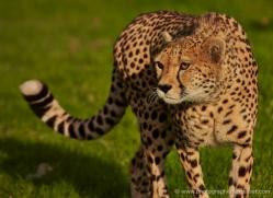 cheetah-whf-2367-copyright-photographers-on-safari-com