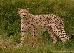 cheetah-whf-2368-copyright-photographers-on-safari-com
