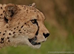 cheetah-whf-2374-copyright-photographers-on-safari-com