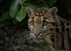 clouded-leopard-whf-2351-copyright-photographers-on-safari-com