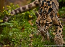 clouded-leopard-whf-2352-copyright-photographers-on-safari-com