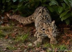 clouded-leopard-whf-2353-copyright-photographers-on-safari-com