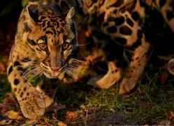 clouded-leopard-whf-2398-copyright-photographers-on-safari-com